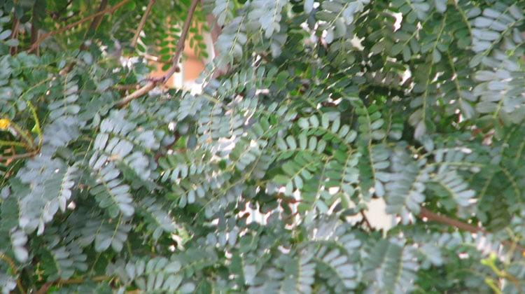 Foliage on a Leopard tree