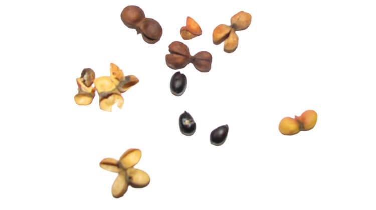Harpulllia seeds