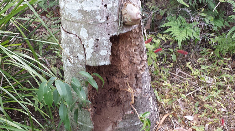 trunk rot in an Alexander palm