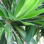 Cordyline foliage