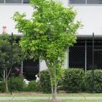 A Brisbane tulipwood, harpullia pendula