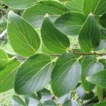 chinese elm foliage
