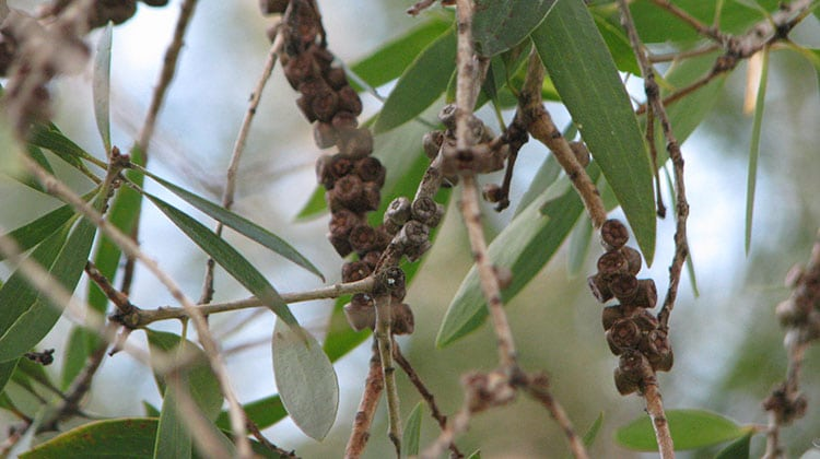 paperbark gum nuts which will open to reveal seeds